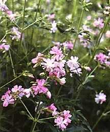 Soapwort, 'Flore-pleno'