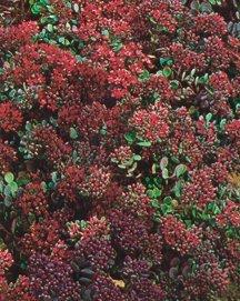 Stonecrop, 'Rosy Glow'