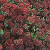 All_plants_sedum_maximum_atropurpureum_rosy_glow-1.thumb