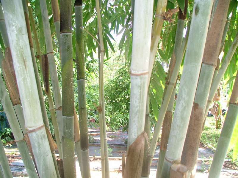Tropicals_dendrocalamus_minor_amoenus-1.full