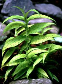 All_plants_tricyrtis_hirta_golden_gleam-1.full
