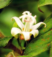 Toad Lily, 'White Towers'