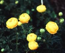 Globeflower, 'Lemon Queen'