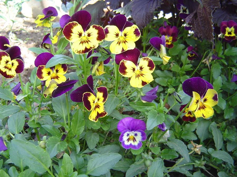 Perennials_viola_x_wittrockiana.full