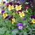 Perennials_viola_x_wittrockiana.small