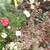 Portulaca_and_stone_crop.small