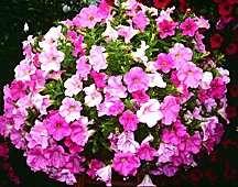 Petunia, Supertunia™ Sunlace