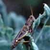 Grasshopper.thumb