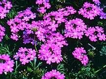 Verbena, Tapien™ Lavender
