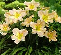 Daylily, 'Innerview'