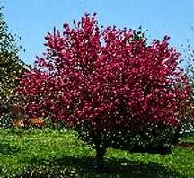 Crab Tree, Flowering 'Robinson'
