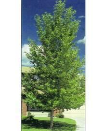 Poplar Tree, Hybrid (Shade Tree Form)