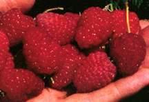 Raspberry, Dormanred