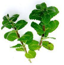 All_plants_mentha_blue_basalm-1.full