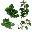 All_plants_origanum_santa_cruz-1.thumb