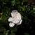 Gardenia.small