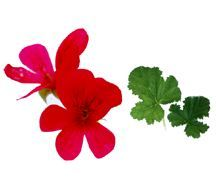 Scented_geraniums_pelargonium_balm-1.full