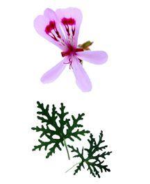 Scented Geranium, Radula (Crowfoot)