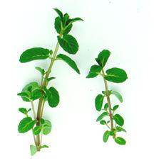 Mint, Persian