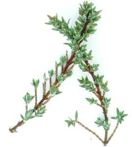 Thyme, Silver Needle