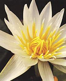 Tropical_water_lilies_nymphaea_crystal-1.full