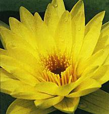 Tropical_water_lilies_nymphaea_yellow_dazzler-1.full