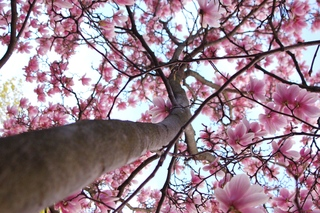 different view of Magnolia Tree