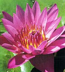 Tropical_water_lilies_nymphaea_shirley_bryne-1.full