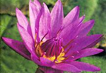Water Lily, 'Jack Wood' (Day Blooming Tropical)