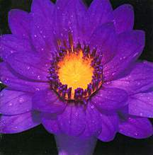 Tropical_water_lilies_nymphaea_tina-1.full