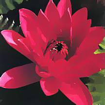 Tropical_water_lilies_nymphaea_antares-1.full