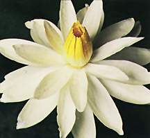 Tropical_water_lilies_nymphaea_woods_white_night-1.full