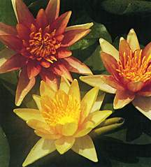 Hardy_water_lilies_nymphaea_sioux-1.full