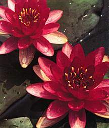 Hardy_water_lilies_nymphaea_perry_s_baby_red-1.full