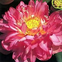 Lotus, 'Momo Botan'