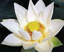 Lotus, 'Angel Wings'