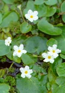 All_plants_nymphoides_crisata-1.full