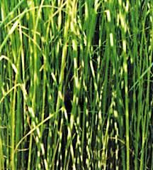 All_plants_scripus_lacustris_albescens-1.full