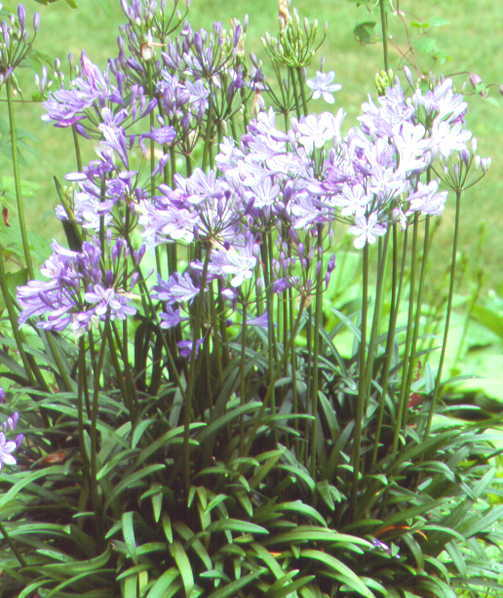 All_plants_agapanthus_peter_pan-1.full