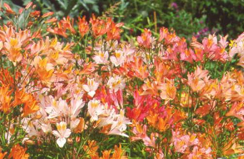 Lilies_alstroemeria_cvs.-1.full