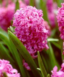 Hyacinth, Dutch  'Amethyst'