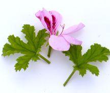Scented Geranium, Copthorne