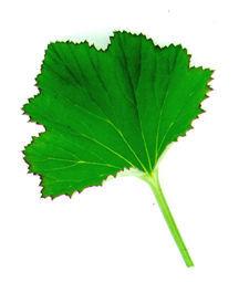 Scented_geraniums_pelargonium_french_lavender-1.full