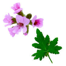 Scented_geraniums_pelargonium_tomentosum_x_graveolens-1.full