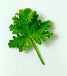 Scented_geraniums_pelargonium_joy_lucille_variegated-1.full