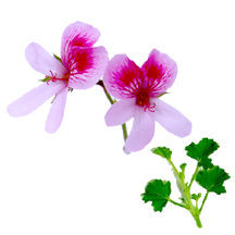 Scented Geranium, Lady Mary