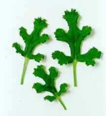 Scented Geranium, Poquito