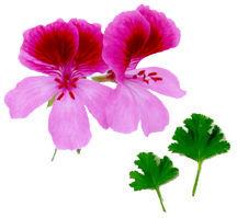 Scented_geraniums_pelargonium_roger_s_delight-1.full