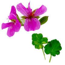 Scented_geraniums_pelargonium_giant_rose_variegated-1.full