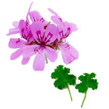 Scented Geranium, Skelton's Unique